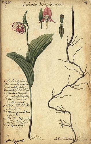 roślina opisana przez Messerschmidta