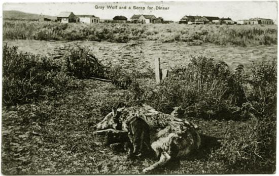 Zastrzelony wilk szary w North Park. Zdjęcie z końca XIX wieku.
